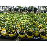 Zitronenbaum Bonsai Zitrus Zitrone Citrus limon 25-35 cm Zitruspflanze