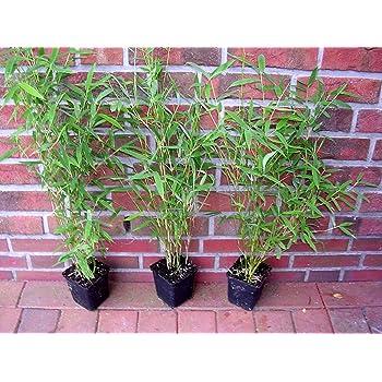 10 X Bambus 40 50 Cm Ab Topf Fargesia Murielae Winterharter