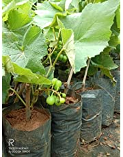 ZOOQA FARM | Sweet Green Grapes Live Plant (Wine Fruite Plant) 1 Feet Height with Pot