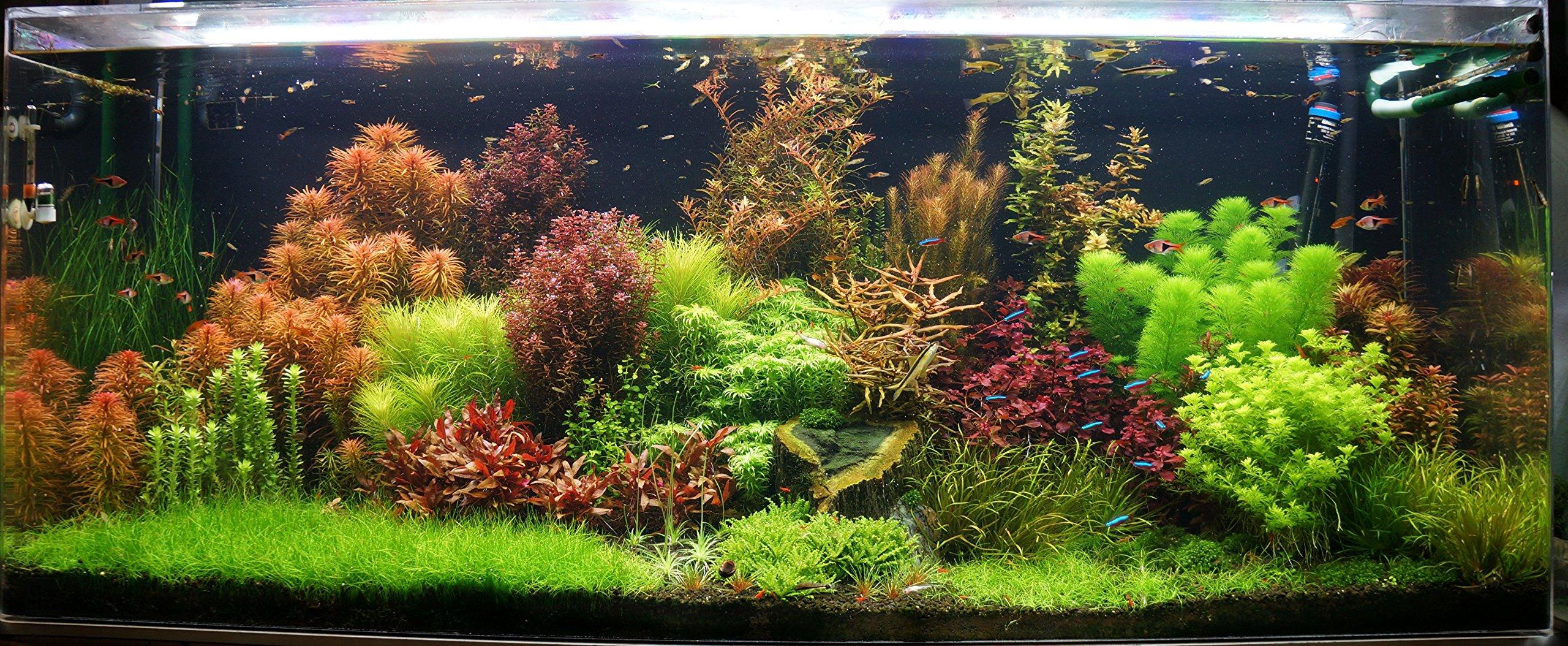Biotope Aquatics Ltd – 50 Live Aquarium Plants Tropical Aquatic Plants for your fish tank – rooted and stems