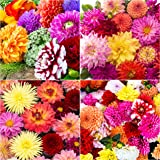 by Woodland bulbs/® 12 x Ranunculus Bulbs /'Mixed/' Colourful Summer Flowering Bulbs Ready to Plant Free UK P/&P