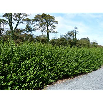 25 Dog Rose Hedging Plants 60-90cm Rosa Canina Make Healthy Rose Hip Syrup 3fatpigs/®